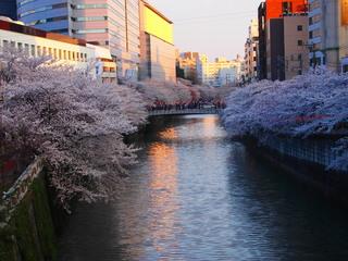 20120408_sakura2.jpg