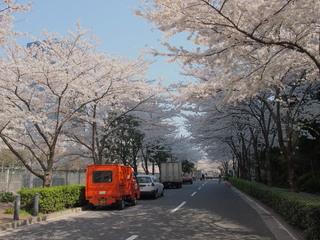 20120408_sakura4.jpg