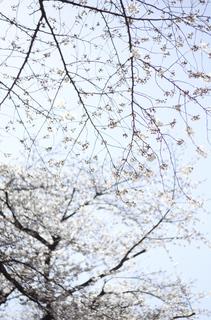 20150327jiyugaoka_cherryblossom-1000049.jpg